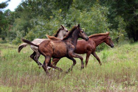 Rickman Mustang foals